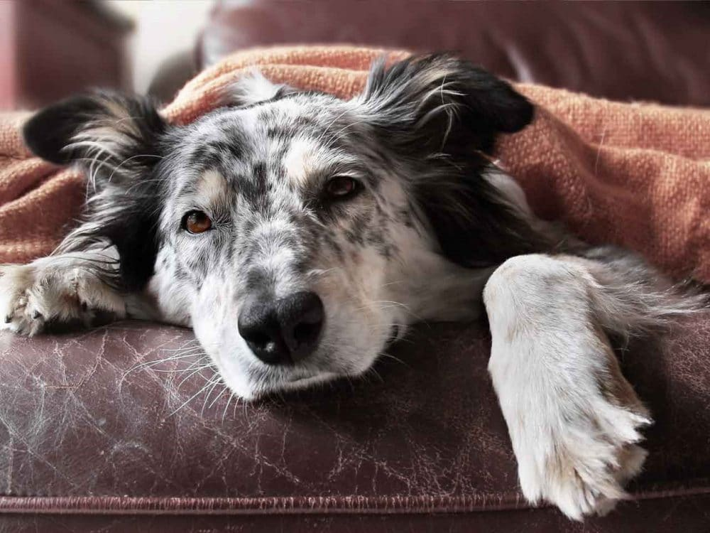 dog lying on sofa with blanket